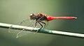 Brown-backed Red Marsh Hawk 02 @ Kanjirappally.jpg
