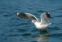 Brown-headed Gull (2).jpg