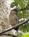 Brown fish owl.jpg