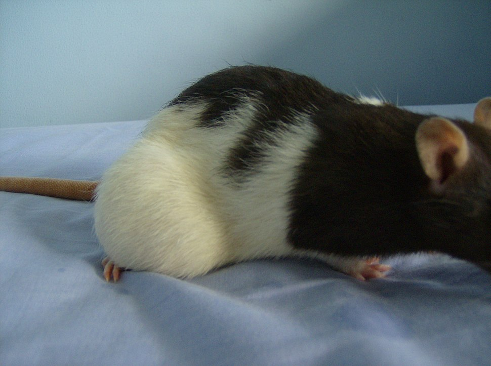 Brown hooded rat with a large tumor