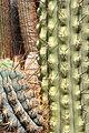 Browningia hertlingiana pm1.jpg