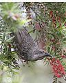 Brush Wattlebird - Little wattlebird (Anthochaera chrysoptera) - Flickr - Lip Kee (3).jpg