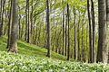 Buchen- und Bärlauchwald im südlichen Süntel im Naturpark Weserbergland Schaumburg-Hameln.jpg