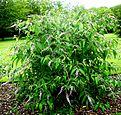 Budd. albiflora.jpg
