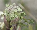 Budding hogweed with marmalade hoverfly.jpg
