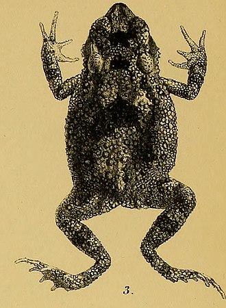 Ingerophrynus macrotis - Image: Bufo macrotis Annali del Museo civico di storia naturale di Genova (1887) (18384564826) (cropped)