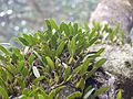 Bulbophyllum sp. (5592973992).jpg