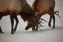 Bull-elk-antler-sparing-dominance - West Virginia - ForestWander.jpg