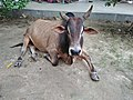 Bull - ISKCON Campus - Mayapur - Nadia 20170815154153.jpg