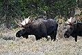 Bull Moose (50436707373).jpg