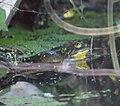 Bullfrog (7273385360).jpg