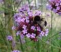Bumblebee (Bombus terrestris?) on verbena, Wrest Park, Bedfordshire (7810290844).jpg