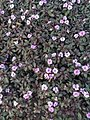 Bunga Taman.jpg