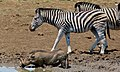 Burchell's Zebras (Equus quagga burchellii) and Warthog (Phacochoerus africanus) (6829037651).jpg