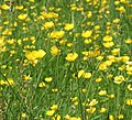 Buttercups ((Ranunculus repens) - geograph.org.uk - 834285.jpg