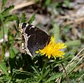 Butterfly Mammoth Lakes (20140420-0026).JPG