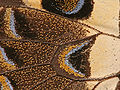 Butterfly Wing close-up.jpg