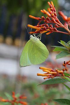 Butterfly kbr.jpg