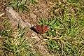 Butterfly near Lannacombe Bay (3127).jpg