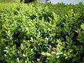 Buxus sempervirens con abundantes hojas nuevas.jpg