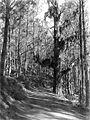 COLLECTIE TROPENMUSEUM Kunstmatig aangelegd tjemarabos (Bromo bos) op weg naar de Moengal pas Oost-Java TMnr 10008024.jpg
