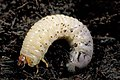 CSIRO ScienceImage 2200 A Curl Grub larvae.jpg