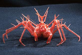 King crab - Lithodes longispina