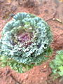 Cabbage in semmozhi poonga1.jpg