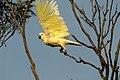 Cacatua galerita -Bungendore -NSW -Australia-8b.jpg