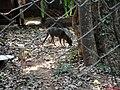Cachorro-do-mato (Cerdocyon thous) é um animal de hábitos noturno, arisco e solitário. Pesa entre 5 a 8 kg, um animal adulto tem 65 cm de comprimento, com a cauda medindo cerca de 30 cm. Seu corpo é pe - panoramio (1).jpg