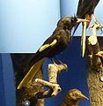 Cacicus melanicterus Museum de Genève.JPG