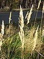 Calamagrostis-epigejos-04.jpg
