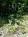Calamagrostis arundinacea sl6.jpg
