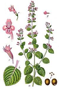 Calamintha nepeta Sturm54.jpg