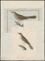 Calamodyta locustella - 1700-1880 - Print - Iconographia Zoologica - Special Collections University of Amsterdam - UBA01 IZ16200105.tif