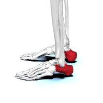 Calcaneus03 lateral view.png