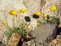 California Poppy - Flickr - treegrow (1).jpg