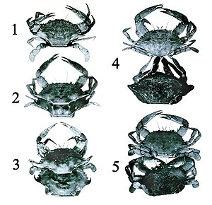 Ecdysis - Process of ecdysis in the blue crab (Callinectes sapidus)
