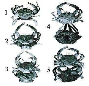 Ecdysis - Process of ecdysis in the blue crab (Callinectes sapidus)