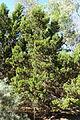 Callitris preissii - Jardín Botánico de Barcelona - Barcelona, Spain - DSC08967.JPG