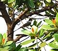 Calophyllum brasiliense DSC 0221.jpg