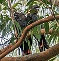 Calyptorhynchus lathami Glossy Black Cockatoo pair 02.jpg