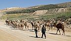 Camels in Dana Reserve 03.jpg