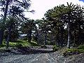 Camino al refugio del volcán Llaima en Parque Nacional Conguillio (febrero 2011) - panoramio (3).jpg