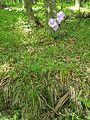 Campanula persicifolia general view.jpg