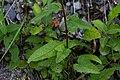 Campanula rapunculoides-Campanule fausse raiponce-Feuilles-20190716.jpg