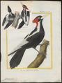 Campephilus principalis - 1700-1880 - Print - Iconographia Zoologica - Special Collections University of Amsterdam - UBA01 IZ18700117.tif