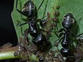 Camponotus pennsylvanicus P1340047a.jpg