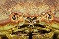 Cancer pagurus - Crabe dormeur - Tourteau - 009.jpg