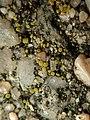 Candelariella aurella 59903899.jpg